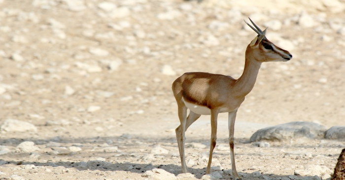 endangered-animals-in-the-uae